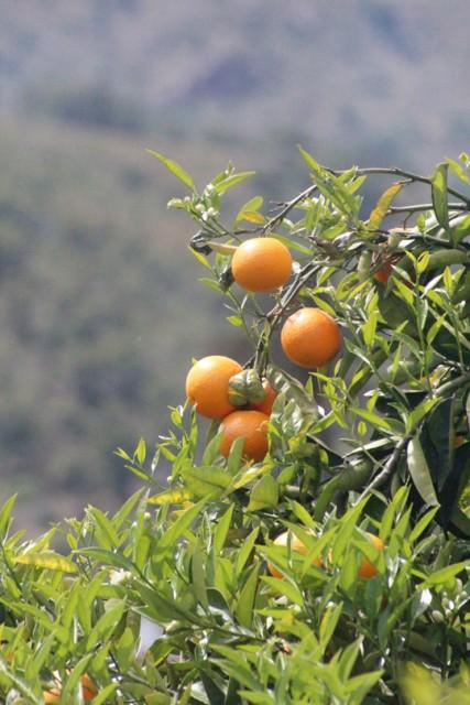 93-Citrus-sinensis-Nacho.jpg