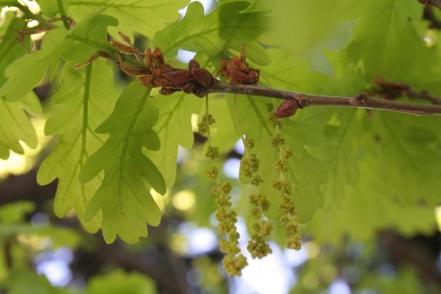 97-Quercus-robur-IFTG-053.jpg