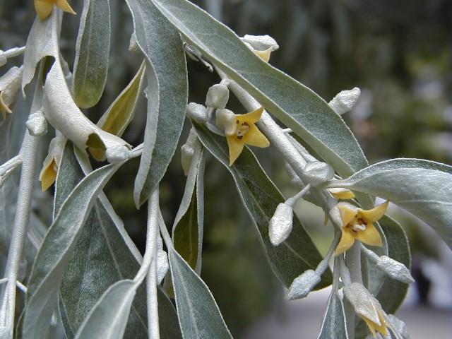 98-Elaeagnus_angustifolia_AB.jpg