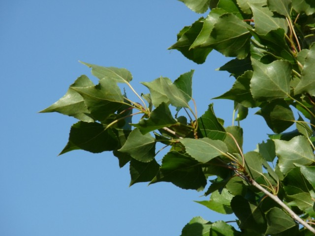 Populus-nigra.jpg