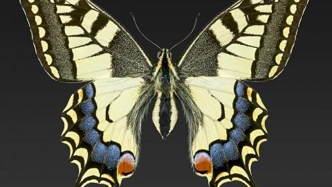 Papilio_machaon_MHNT_CUT_2013_3_11_Cahors_Female_Dorsal