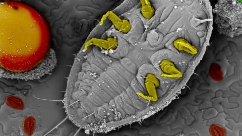 Larva de mosca blanca