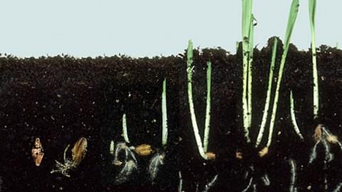 Secuencia germinación cebada definitiva