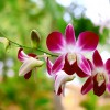 orchid-black-checkered-2576067_960_720