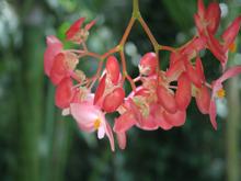 Begonia tropical