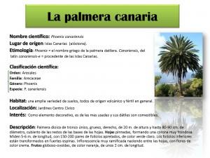 Ficha palmera canaria