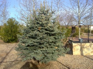 Picea glauca globosa