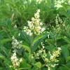 Aligustre de California detalle flores y hojas