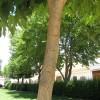 Morera japonesa detalle tronco