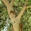 Populus alba var. pyramidalis detalle tronco