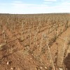 girasol cultivo