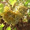 Vid-Vitis vinifera uva