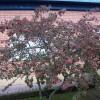 Cotoneaster - falsomembrillo1