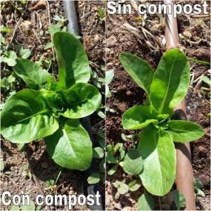 Lechuga con y sin compost 27-05