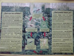 Como insectos beneficiosos en cultivo de pimiento