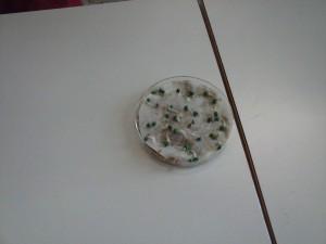 Semillas de lechuga con radícula